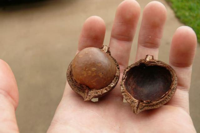 foto noci macadamia cane