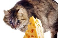 Foto Posso dare formaggio al gatto?