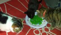 foto gatto mangia piselli