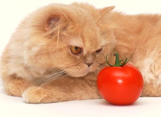 Foto Il Gatto può mangiare pomodori?