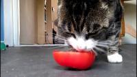 foto gatto mangia pomodoro