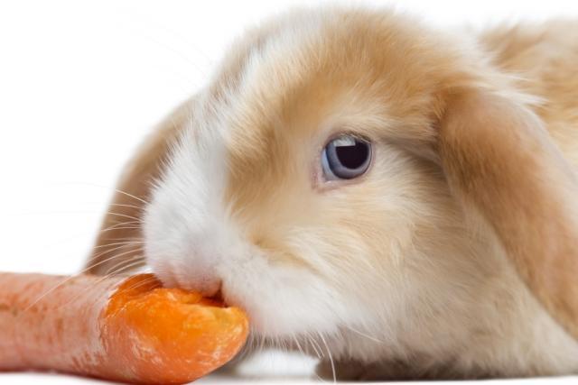 Foto Il coniglio può mangiare carote?