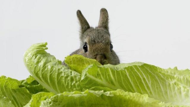 coniglio mangia lattuga