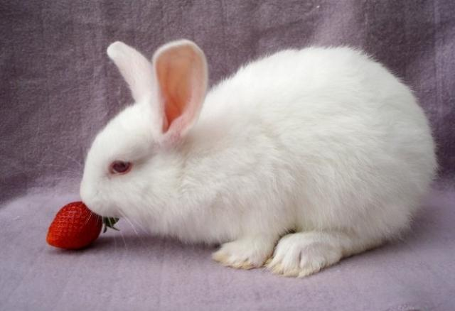 coniglio mangia fragole