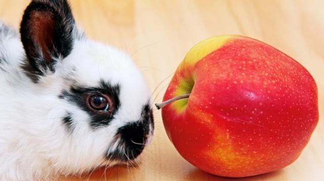 coniglio mangia mela