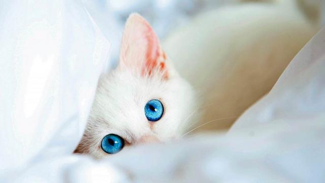 gatto bianco sordo