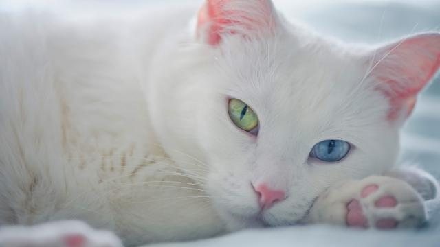 Foto I Gatti bianchi sono sordi?