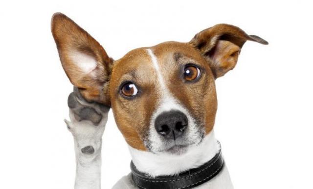 Foto Otite nel Cane: sintomi, cause e trattamento