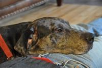 Foto Condrosarcoma nel Cane: sintomi e trattamento