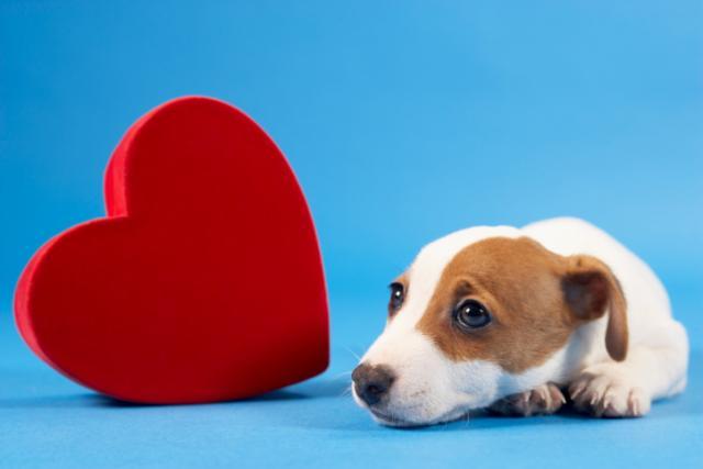 cuore cane