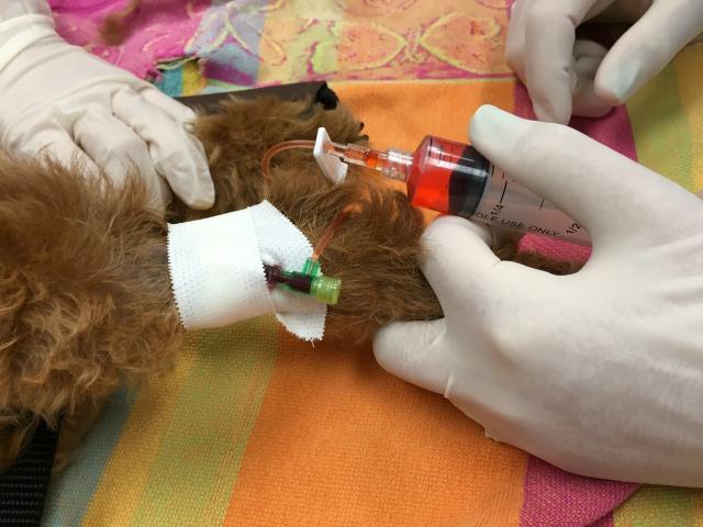 Foto Chemioterapia Cane: effetti collaterali