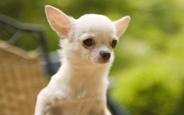 Foto Perchè il Chihuahua trema?