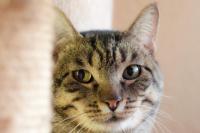 Foto Virus dell'immunodeficienza felina (FIV) nel Gatto
