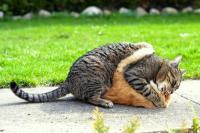 gatto che morde trasmette fiv