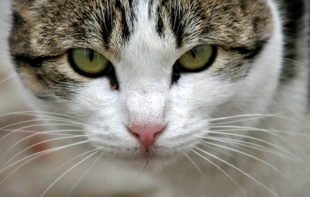 Foto Come sapere se il Gatto è malato