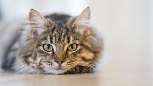 Foto Perchè sterilizzare il Gatto?