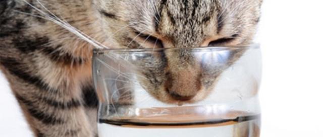 gatto che beve acqua