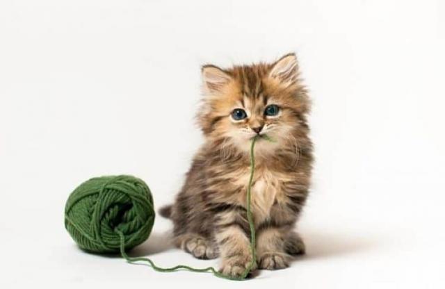 Fino A Che Età Cresce Il Gatto Mondopetsit