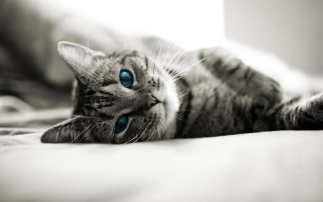un gatto letargico può avere la febbre