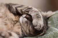 Foto Come capire se il Gatto ha dolore