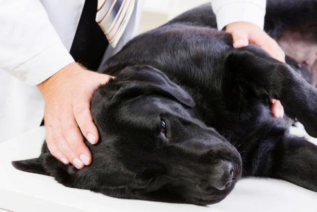 osteoartrosi canina