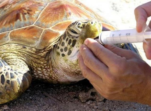 Foto Come capire se la Tartaruga è malata