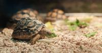 tartaruga mangia verdura