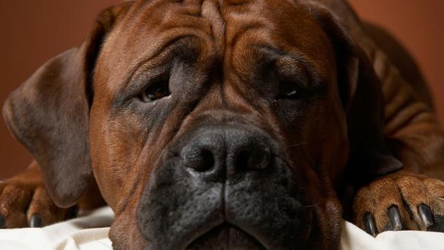 Foto Come capire se il Cane è depresso