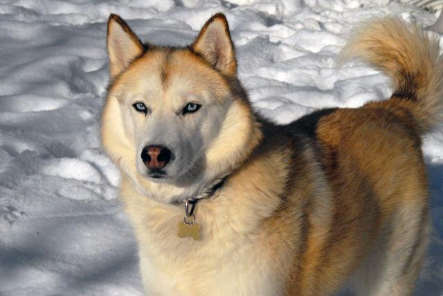 Foto Cane Siberian Husky