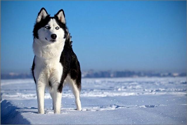 bellissimo siberian husky