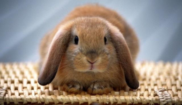 Foto Malattie del Coniglio nano